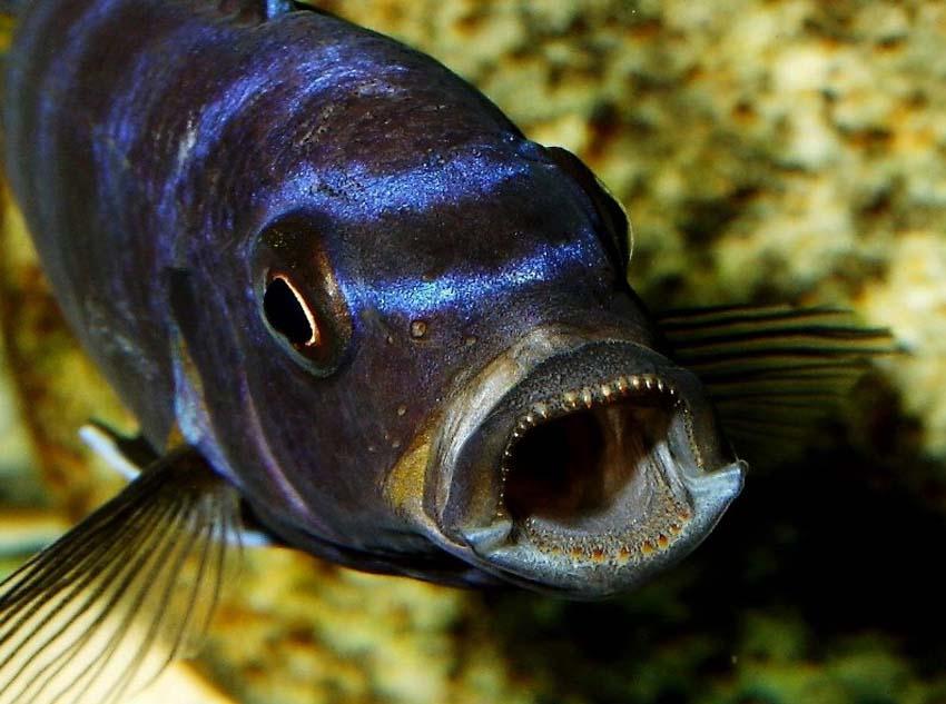 Malawi led beleuchtung in der aquaristik die for Malawi buntbarsch