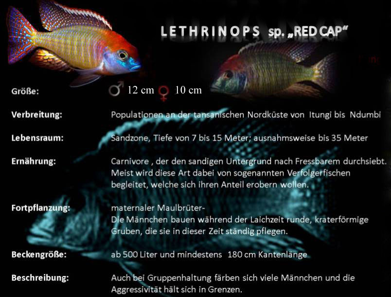Lethrinops sp red cap 1