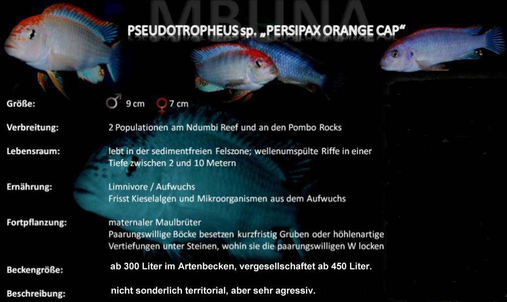 Pseudotropheus sp persipax orange cap