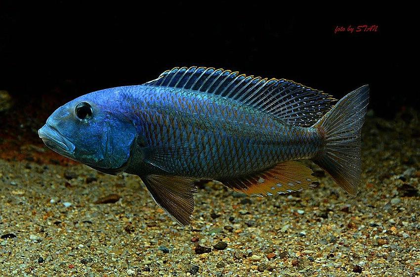 Аристохромис Кристи (Aristochromis christyi), фото фотография аквариумные рыбы