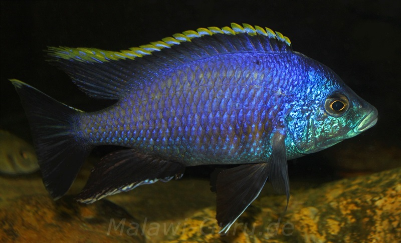 Placidochromis sp. blue otter 2