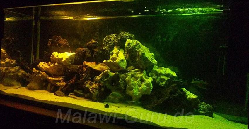 Malawi Guru De Farbfolien Am Malawi Aquarium