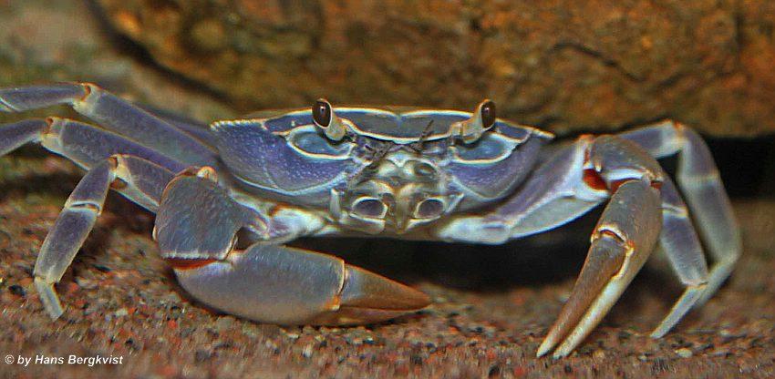 east german krabbe