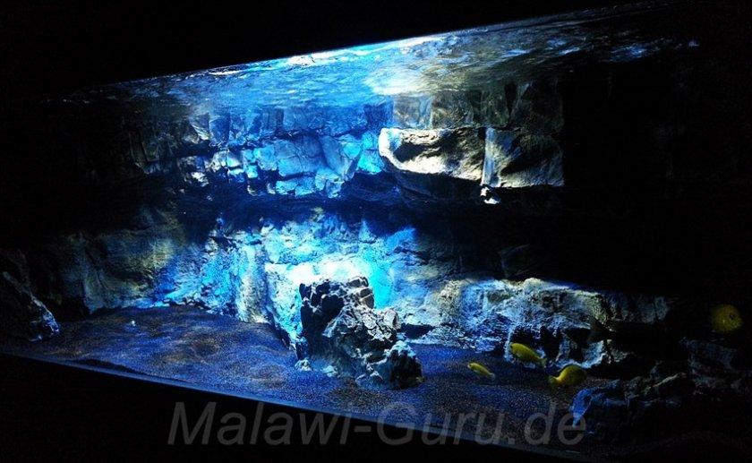 malawi malawi 400 liter malawisee aquarium bergangszone. Black Bedroom Furniture Sets. Home Design Ideas
